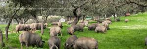 Porcino de ovipor